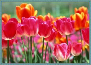 Тюльпаны - замечательный подарок женщине